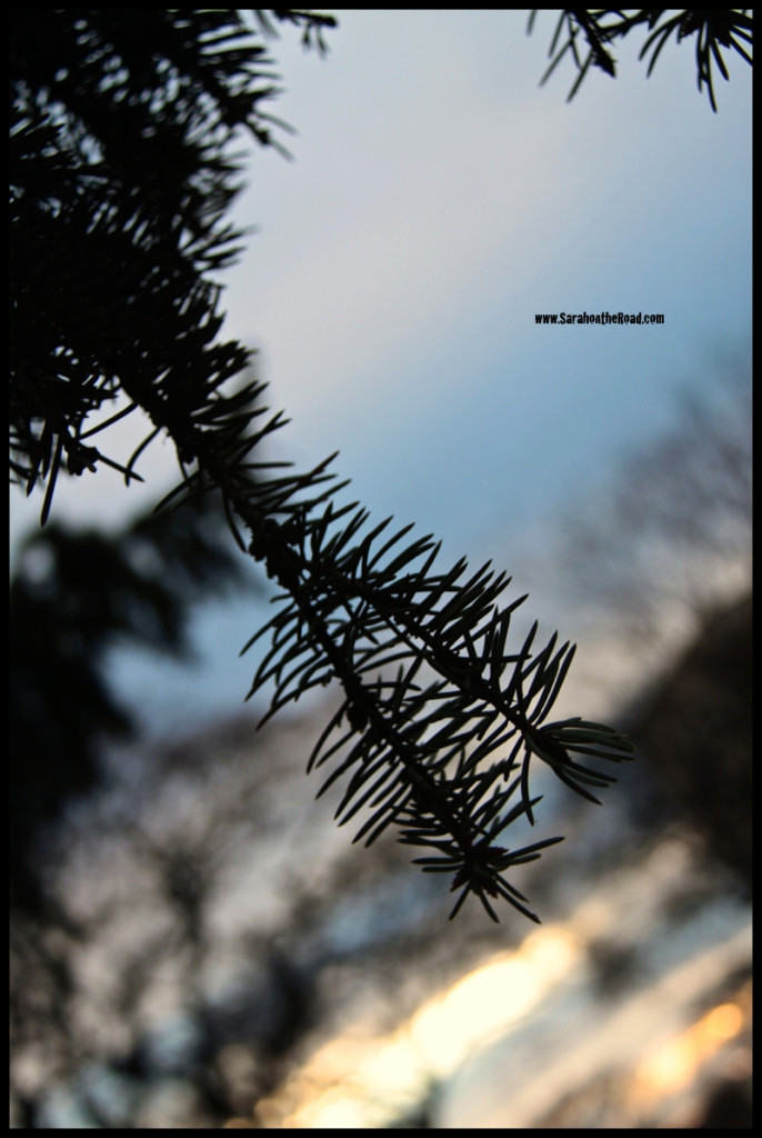Spruce Tree at twilight...