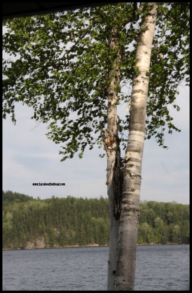 Birch Tree at Haliburton Lake