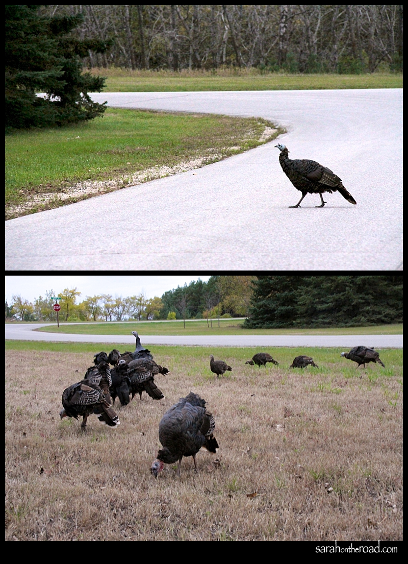 Turkeys...