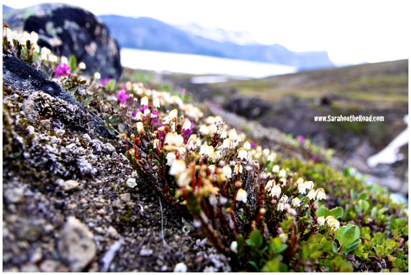 flowers on the tundra